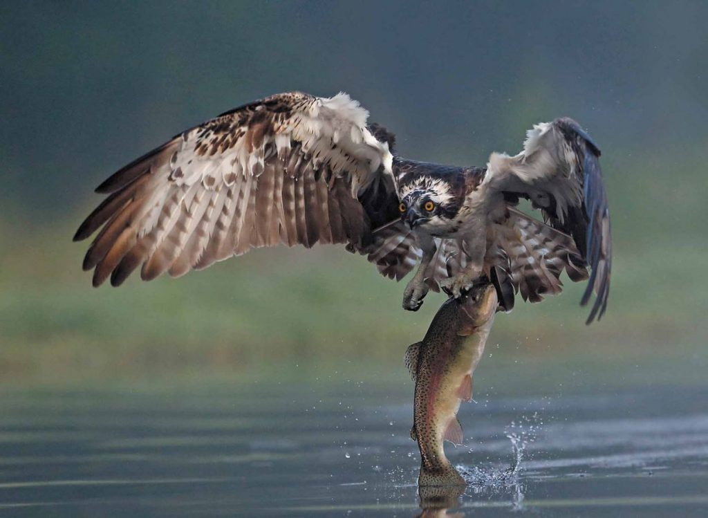 Osprey catches trout at Rothiemurchus near Aviemore