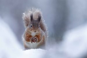 Red Squirrel in the snow - Neil McIntyre
