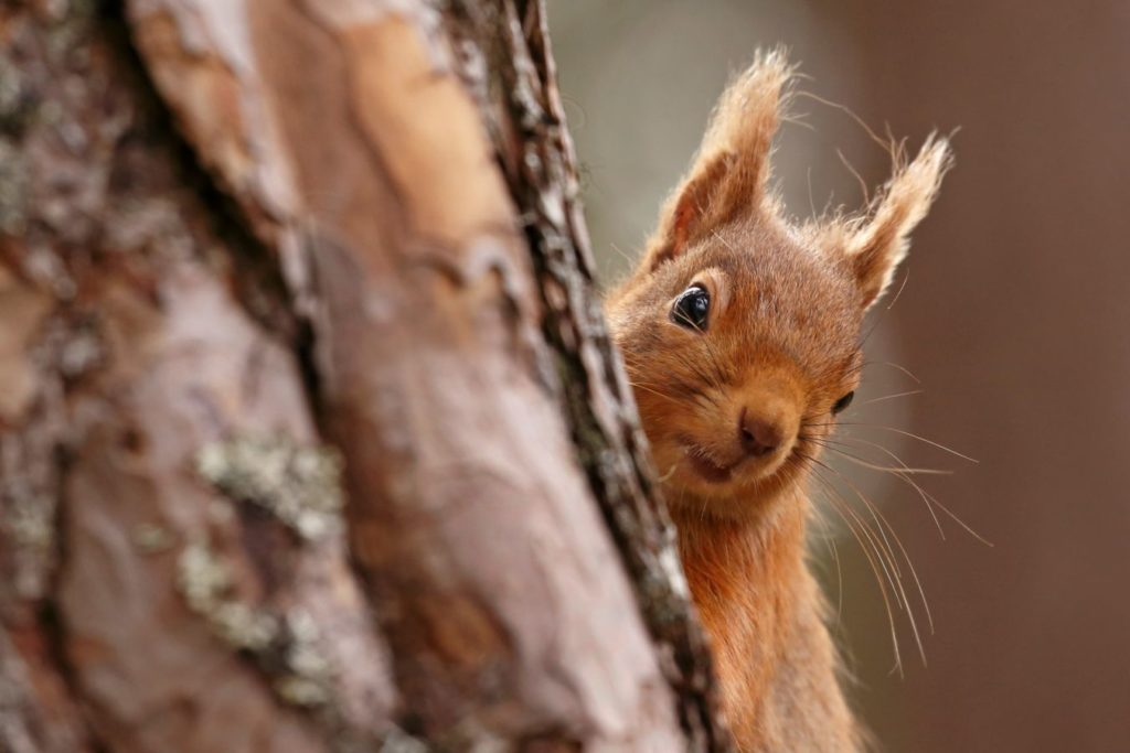 Red Squirrel peaking out from behind a tree