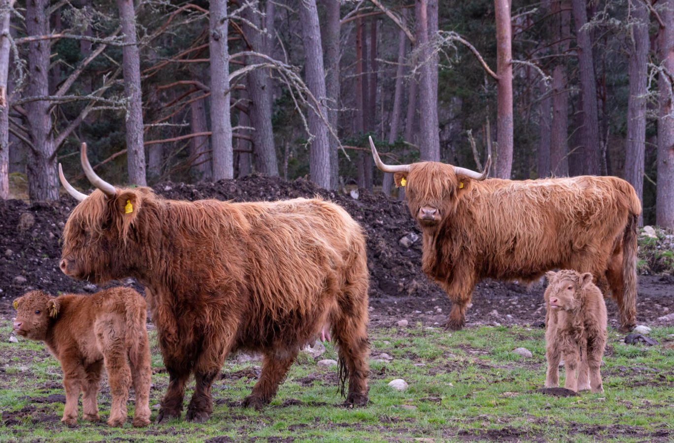 Two mother Highland Cows and their two calves