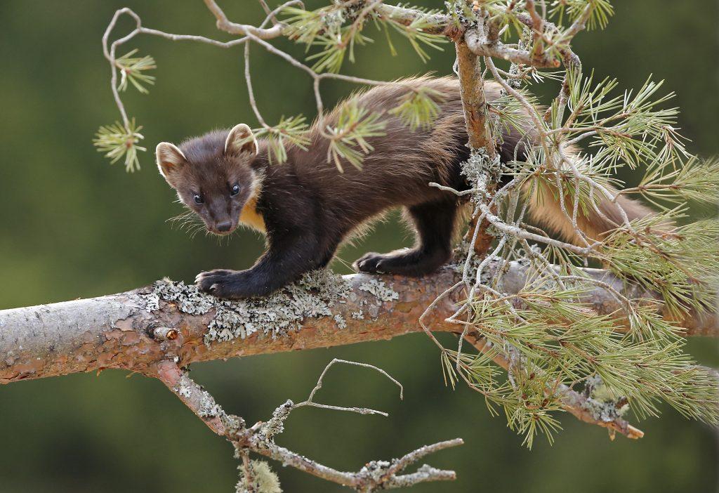 pine marten on a branch