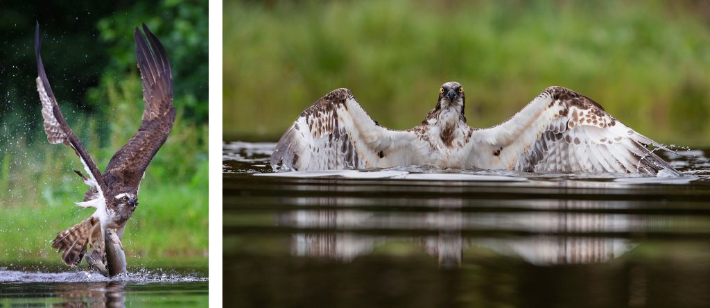 osprey with trout by David Ellison, osprey in water by Alex Gall