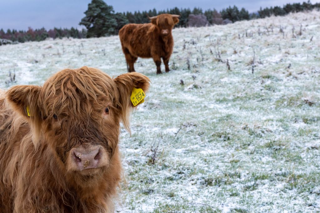 Highland cow on a frosty morning in Rothiemurchus
