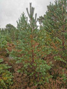 Rothiemurchus Scots Pine Christmas Tree, near Aviemore